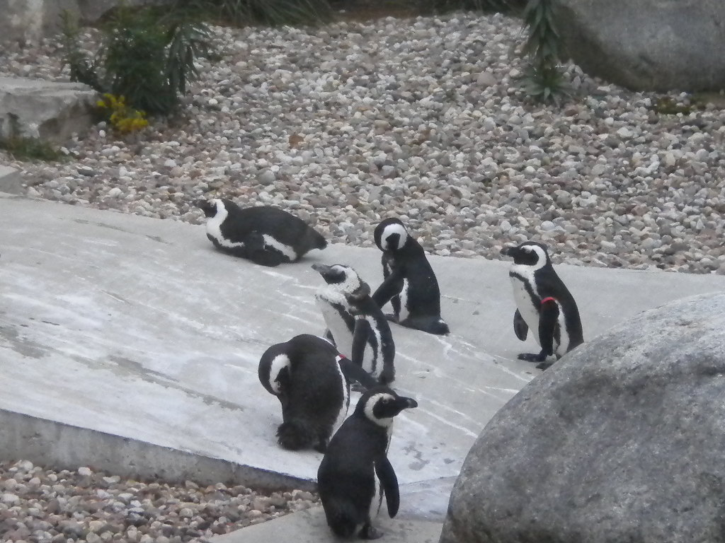 the distinct characteristics of a penguin The emperor penguin is considered the tallest and the heaviest among all living species of penguins  habitat, characteristics  they are distinct from their .